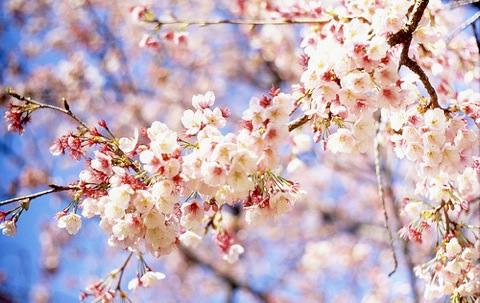 【iPhone,iPad】お花見シーズン到来!、何処でお花見を?