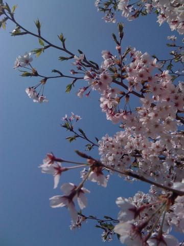 iPhone で桜を撮る