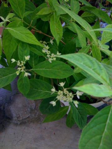 ヤマアジサイのシチダンカが咲いた