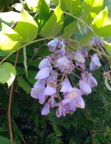 今年は咲くのが早そう、ヤマアジサイの七段花と東雲