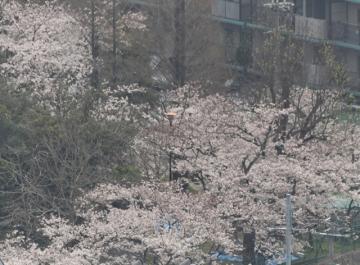ヤマアジサイ 東雲の挿し木 その後 2007_04_10