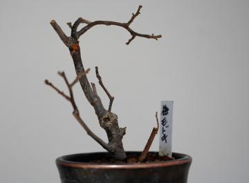 ウメモドキ 2007_03_18