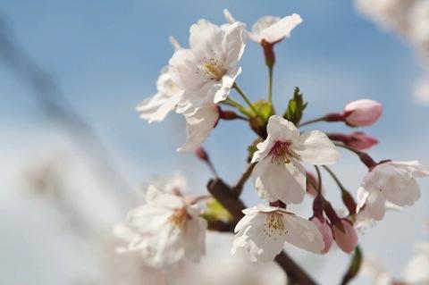 2014年、神戸市内の桜祭り